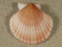 Aequipecten opercularis lineata UK 4,9cm *Unikat*