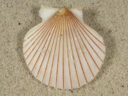 Aequipecten opercularis lineata UK 4cm *Unikat*
