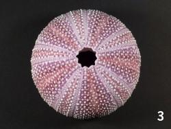 Echinus esculentus violett IE 8+cm