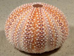 Echinus esculentus orange-rot IE 7,6cm *Unikat*