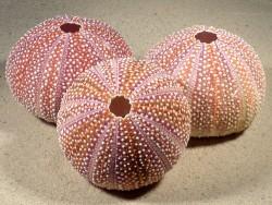 Seeigel Echinus esculentus dunkelrot IE 8+cm