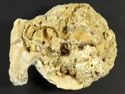 Mimachlamys varia Pliozän ES 7,5cm