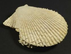 Mimachlamys varia Pliozän ES 5,7cm