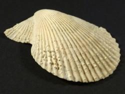 Mimachlamys varia Pliozän ES 4,7cm