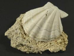 Versteinerung Flexopecten flexuosus Pliozän ES 3,9cm