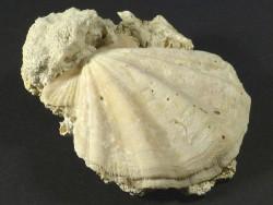 Flexopecten flexuosus Pliozän ES 4,2cm