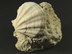 Flexopecten flexuosus Pliozän ES 4,3cm