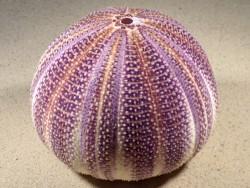 Echinus esculentus violett UK 13,2cm *Unikat*