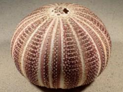 Echinus esculentus braun-weiß UK 12,7cm *Unikat*