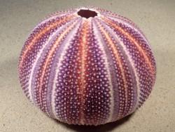 Echinus esculentus UK 12,2cm *Unikat*
