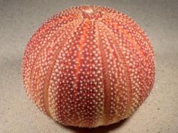 Echinus esculentus UK 10,7cm *Unikat*