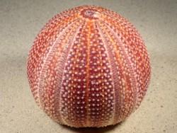 Echinus esculentus UK 10cm *Unikat*