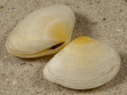 Gastrana fragilis FR-Mittelmeer 2,4+cm