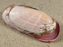 Solecurtus strigilatus *Freak* FR-Mittelmeer 6,8cm
