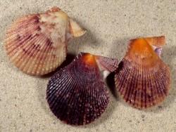 Mimachlamys varia FR-Mittelmeer 3,3+cm (x3) *Unikat* Set