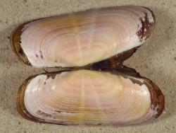 Solecurtus strigilatus FR-Mittelmeer 7,6cm *Unikat*