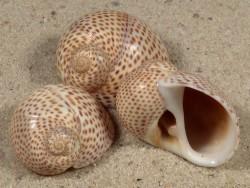 Natica stercusmuscarum ES-Mittelmeer 2,3+cm