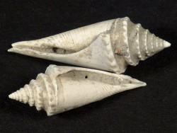 Versteinerung Conus antidiluvianus Pliozän IT 2,1+cm