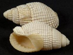 Tritia spec. aff. reticulata Pliozän GR 2+cm