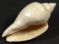 Cryptochorda stromboides Eozän FR 3,5cm *Unikat*