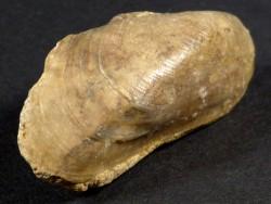 Modiolus bipartitus Jura FR 3,3cm *Unikat*
