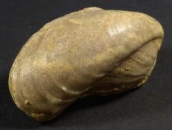 Modiolus bipartitus Jura FR 3,9cm *Unikat*
