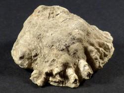Chama gryphoides - Fossil aus dem Pliozän IT 3,9cm *Unikat*