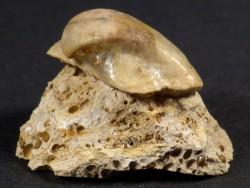 Versteinerung Grammatodon concinnus Jura FR 1,8cm *Unikat*