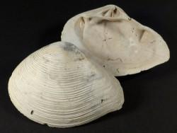 Kalolophus speciosus Pliozän US 6,4+cm