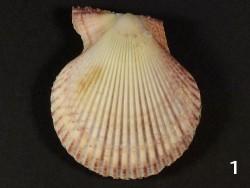Mimachlamys varia IE 4,6+cm