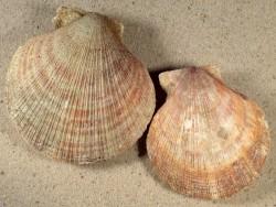 Chlamys islandica IS 7,3+cm