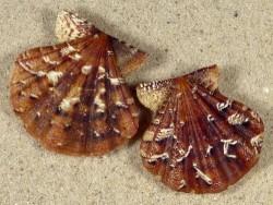 Flexopecten flexuosus dunkel ES 2,8+cm