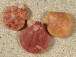 Palliolum tigerinum UK 2+cm (x3) Farbenset