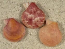 Palliolum tigerinum UK 2,2+cm (x3) Farbenset