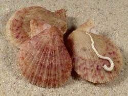 Talochlamys multistriata ES 2,7+cm