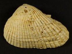 Anadara turonica Miozän FR 5,7cm *Unikat*