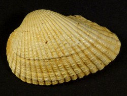 Anadara turonica Miozän FR 4,1cm *Unikat*