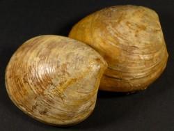 Neocrassina obliqua Jura FR 5,2cm