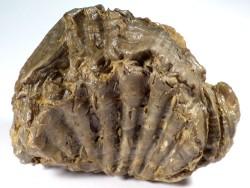 Actinostreon marshii Jura DE 10cm *Unikat*