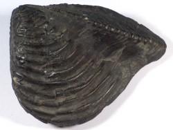 Trigonia triangularis Jura DE 8,9cm *Unikat*