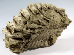 Arctostrea carinata Kreide DE 11,2cm *Unikat*