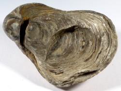 Gryphaea dilatata Jura FR 8,6cm *Unikat*