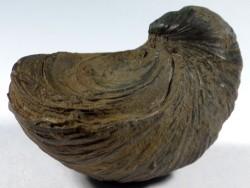Gryphaea arcuata Jura FR 5,7cm *Unikat*