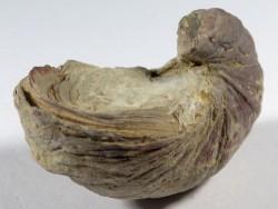 Gryphaea arcuata Jura UK 5cm *Unikat*