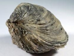Ostrea edulis Pliozän IT 6,1cm *Unikat*