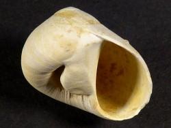 Neverita subglaucinoides Miozän FR 2,2cm *Unikat*