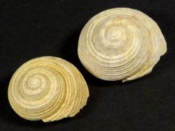Oxystele burdigalensis Miozän FR 1,3+cm