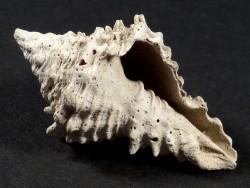Vasum horridum Pliozän US 3,2cm *Unikat*
