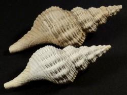 Terebraspira scalarina Pliozän US 5,6+cm