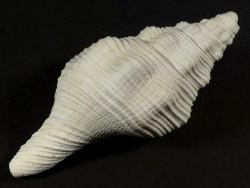 Turbinella hoerlei Pliozän US 6,1cm *Unikat*
